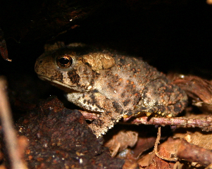 American Toad (photo by Chuck Tague)
