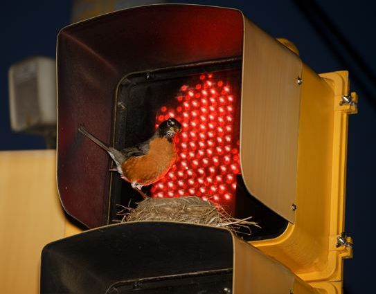 American Robin nesting on traffic signal (photo by Sam Leinhardt)