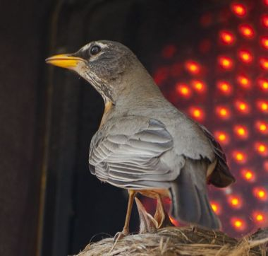American Robin at nest on traffic signal (photo by Sam Leinhardt)