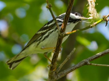 Blackpoll Warbler (photo by Chuck Tague)