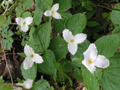 White Trillium (photo by Dianne Machesney)