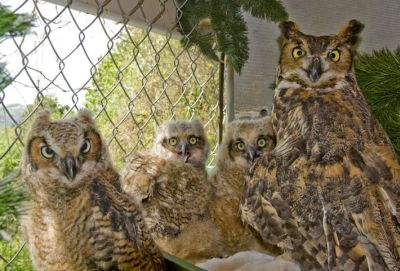 Great-horned Owl fosters 3 babies at ARL Wildlife Center (photo by Galen Grimes)