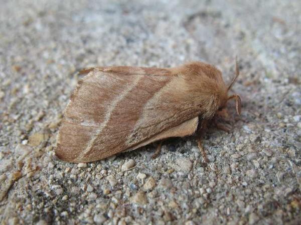 Eastern tent caterpillar moth, Malacosoma americanum (photo from Wikimedia Commons)