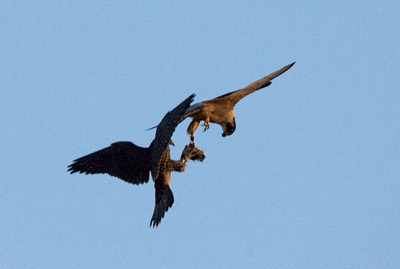 Prey exchange between an adult peregrine and his fledgling (photo by Kim Steininger)