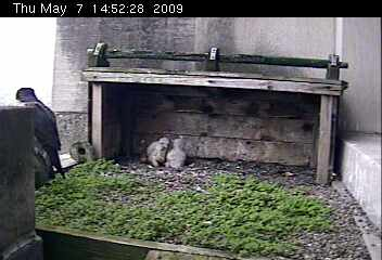 Two peregrine nestlings at Gulf Tower (photo from the National Aviary webcam)