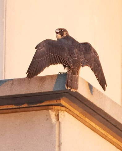 Juvenile Peregrine Falcon about to fly (photo by Kim Steininger)