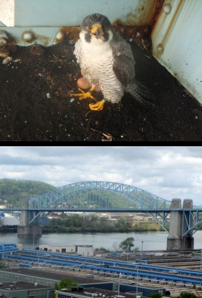 Peregrine Falcon, Bravo, and his nest site, the McKees Rocks Bridge (photos by Beth Fife)