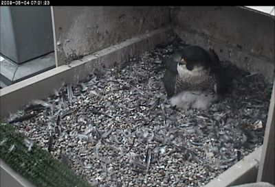 Peregrine falcon, Dorothy, shelters her chicks (photo from the National Aviary webcam at Univ of Pittsburgh)