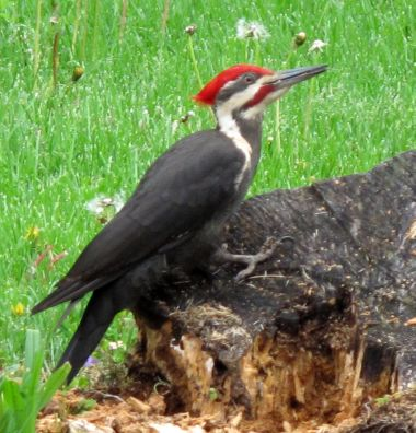 Male Pileated Woodpecker (photo by Darryl Ford Williams)