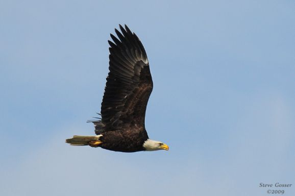 Adult Bald Eagle at Crooked Creek (photo by Steve Gosser)