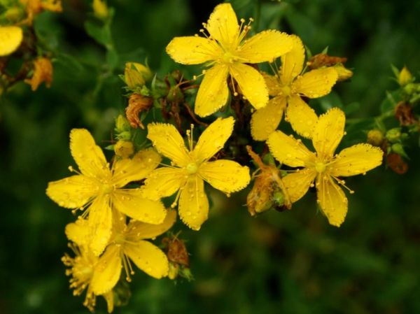 Common St. John's wort (photo by Chuck Tague)