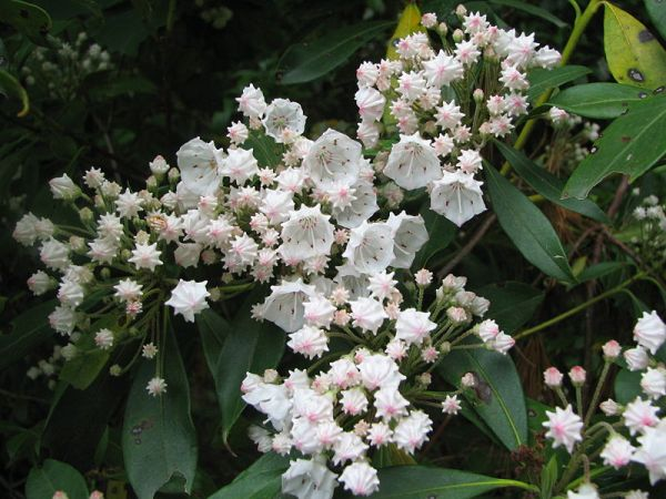 Mountain Laurel (photo by Vlmstra via GNU Free Licensing on WikiMedia)