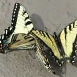 Eastern Tiger Swallowtails, puddling (photo by Dianne Machesney)