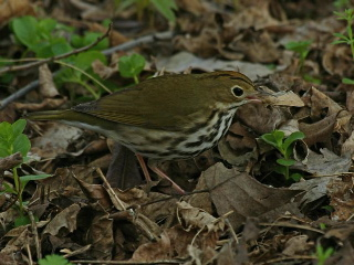 Ovenbird (photo by Chuck Tague)