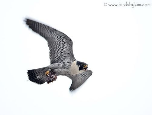 Adult peregrine falcon carrying prey (photo by Kim Steininger)