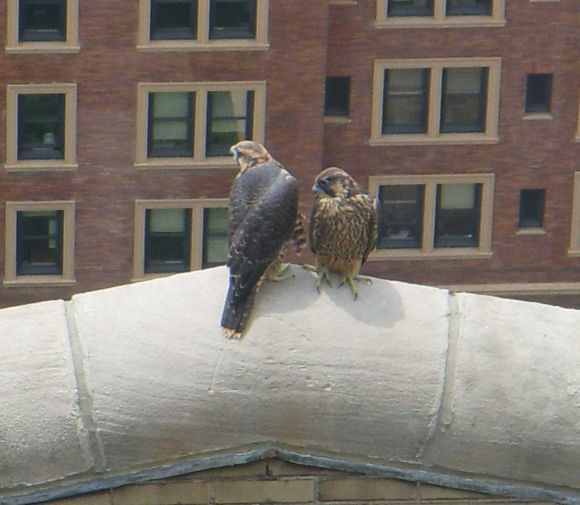 Peregrine fledglings at Univ of Pittsburgh, 8 June 2009 (photo by Kimberly Thomas)