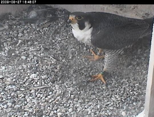 E2 visits the empty nest on June 27 (photo from the National Aviary webcam)