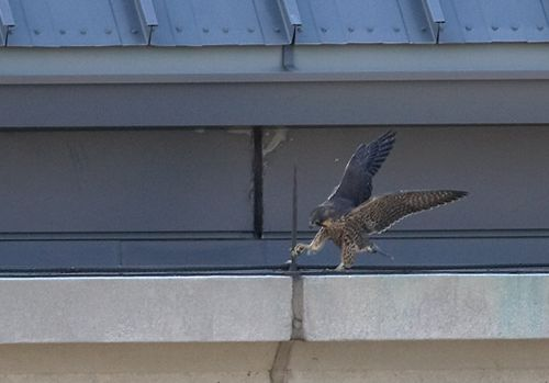 Juvenile Peregrine Falcon walking the ledge (photo by Kim Steininger)