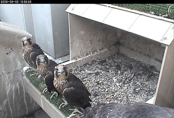 Four peregrine chicks at Univ. of Pittsburgh (photo from the National Aviary webcam)