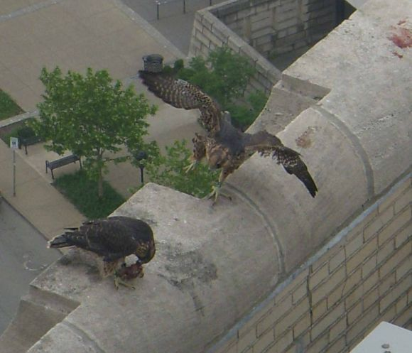 Two peregrine fledglings at Univ of Pittsburgh (photo by Kimberly Thomas)