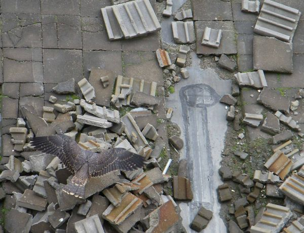 Juvenile peregrine falcon plays among rooftop rubble (photo by Kimberly Thomas)