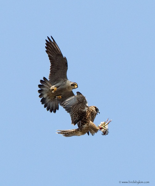 Adult peregrine teaches young the prey exchange (photo by Kim Steininger)