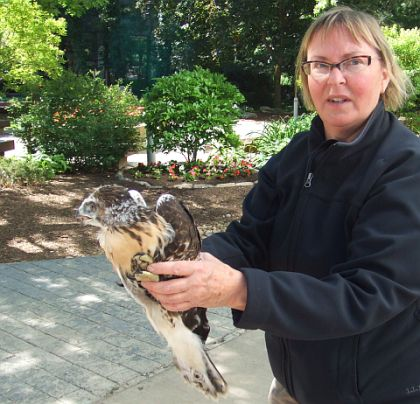 Red-tail fledgling rescued at CMU by Barbara Kviz (photo by Kathy Borland)