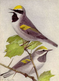 Golden-winged Warblers (painting by Louis Agassiz Fuertes in the public domain)
