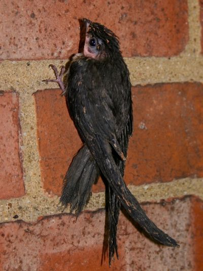 Chimney Swift almost ready to fledge (photo by Chuck Tague)