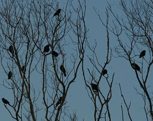 Flock of Common Grackles (photo by Chuck Tague)