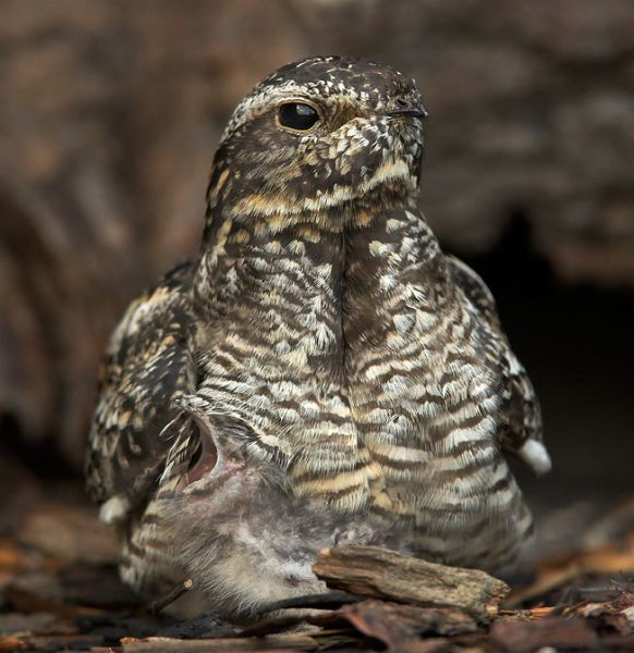 Common Nighthawk on nest with young (photo by Paul Leverington)