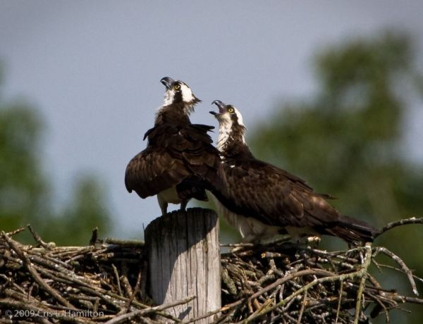 Two Osprey chicks call for food (photo by Cris Hamilton)