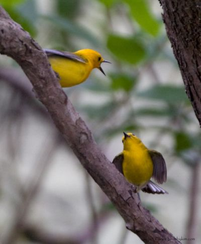 Pair of Prothonotary Warblers courting (photo by Kim Steininger)