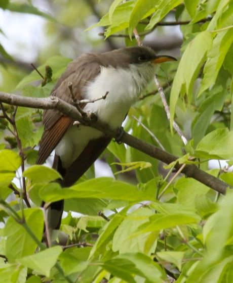 Yellow-billed Cuckoo (photo by Chuck Tague)