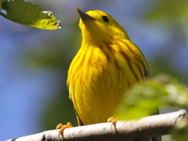 Male Yellow Warbler (photo by Chuck Tague)