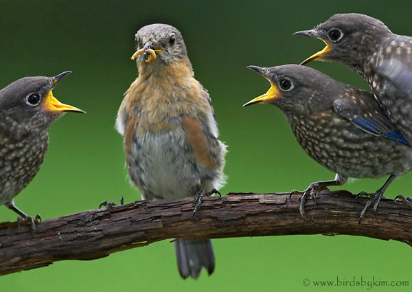 Three eastern bluebirds beg from their mother (photo by Kim Steininger)