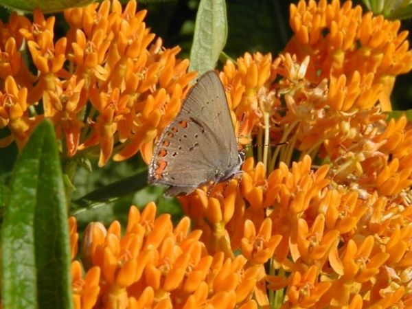 Butterfly Weed with a Coral Hairstreak butterfly (photo by Marcy Cunkelman)