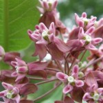 Common Milkweed close-up (photo by Marcy Cunkelman)