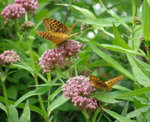 Swamp Milkweed (photo by Marcy Cunkelman)