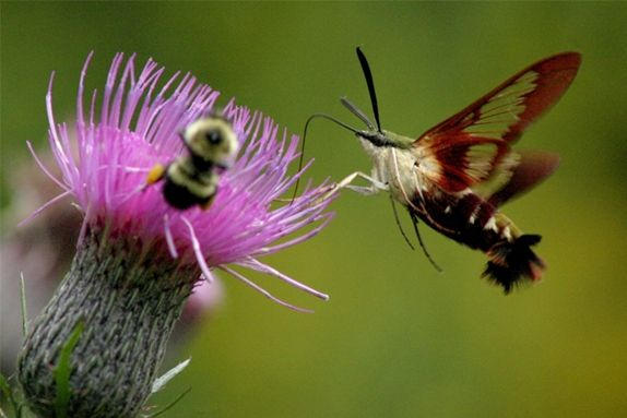 Clearwing moth and bumblebee at Swamp Thistle (photo by Chuck Tague)