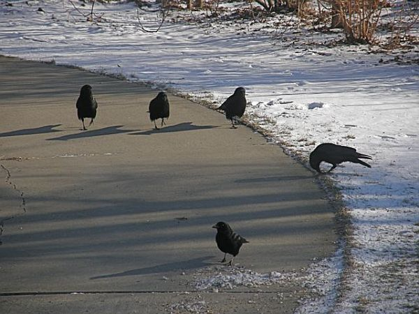 American crows saunter on the driveway (photo by Marcy Cunkelman)