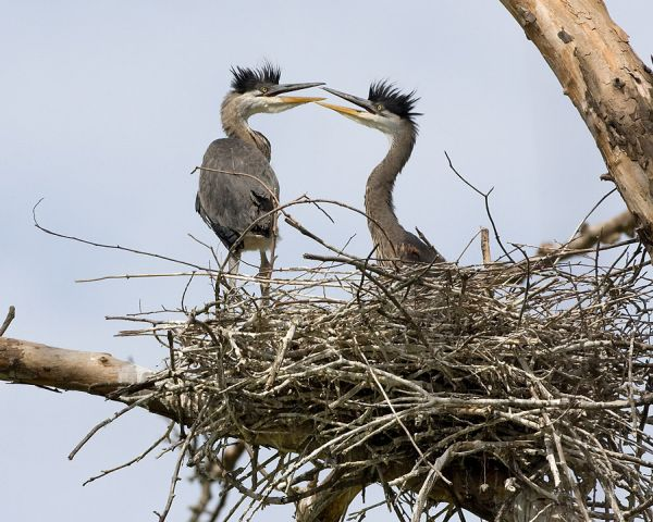 Great Blue Heron nestlings (photo by Kim Steininger).