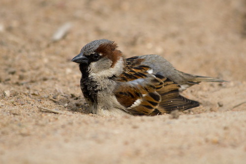 House Sparrow taking a dust bath (photo by Vishnevskiy Vasily via Shutterstock)