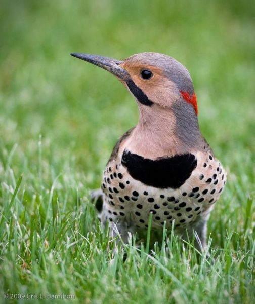 Male Northern Flicker (photo by Cris Hamilton)
