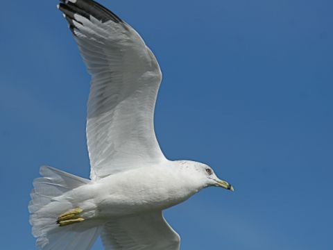 Ring-billed Gull (photo by Chuck Tague)