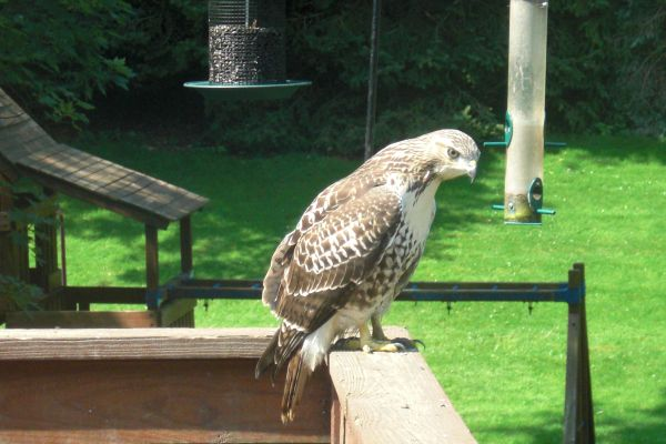 Red-tailed Hawk on Solomon's  deck (photo by Michael Solomon)