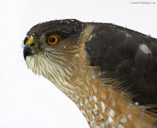 Sharp-shinned Hawk (photo by Kim Steininger)