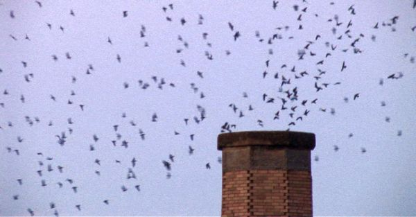 Vaux's Swifts go to roost in Chapman Elementary School chimney in Portland, OR (photo by Dan Viens)