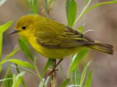 Female Yellow Warbler (photo by Chuck Tague)