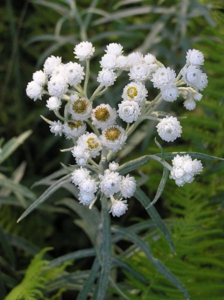 Pearly Everlasting (photo by Dianne Machesney)